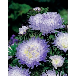 White-blue peony aster - 500 seeds