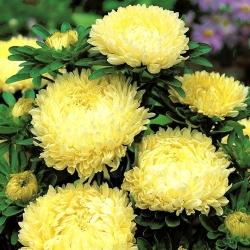 """Peony-flowered aster """"Sonata"""" - 450 seeds"""