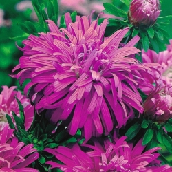 "Chrysanthemum-flowered aster ""Ametyst"" - pale violet - 450 seeds"