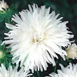 "Chrysanthemum-flowered aster ""Opal"" - white"