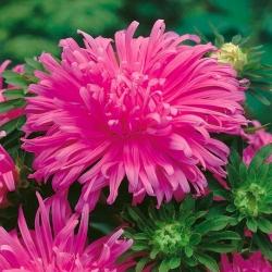 "Chrysanthemum-flowered aster ""Pola"" - pink - 450 seeds"