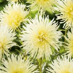 "Needle-petal aster ""Lemon"" - creamy white"