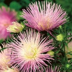 """Needle-petal aster """"Rapsodia"""" - pale violet - 450 seeds"""