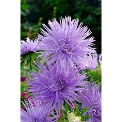 "Needle-petal aster ""Warsaw Lila"" - blue-coloured - 360 seeds"