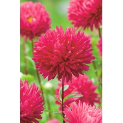 "Peony-flowered aster ""Magdalena"" - pink-crimson - 360 seeds"