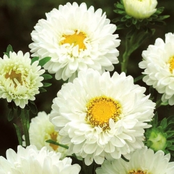 """Semi-double aster """"Iskra"""" - white - 450 seeds"""
