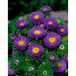 "Semi-double aster ""Spark"" - purple - 450 seeds"