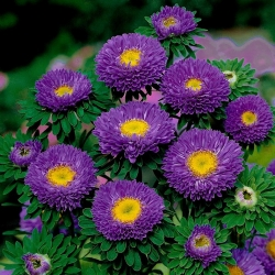 "Semi-double aster ""Iskra"" - purple - 450 seeds"