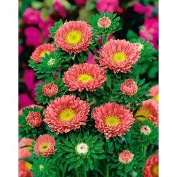"Semi-double aster ""Spark"" - pink-orange - 450 seeds"