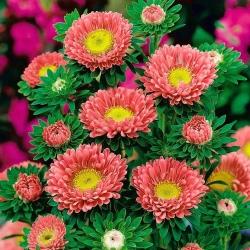 """Semi-double aster """"Iskra"""" - pink-orange - 450 seeds"""
