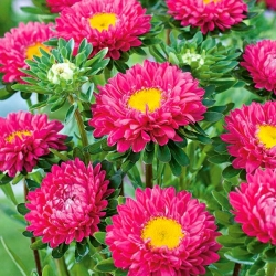 """Semi-double aster """"Iskra"""" - pink"""