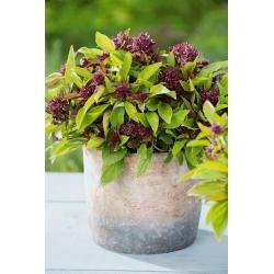 Thai Basil Siam Queen seeds - Ocimum basilicum - 900 seeds