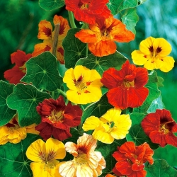 BIO Garden nasturtium - colour variety mix - certified organic seeds; Indian cress, monks cress