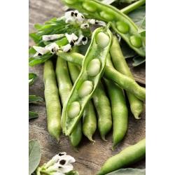 """Broad bean """"Bartom"""" - medium early; fava bean, horse bean"""