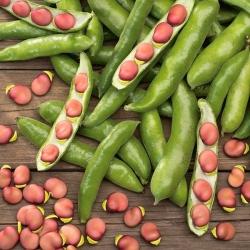 Broad Bean Karmazyn seeds - Vicia faba