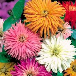 "Chrysanthemum-flowered zinnia ""Glamour Girls"" - variety mix - 108 seeds"