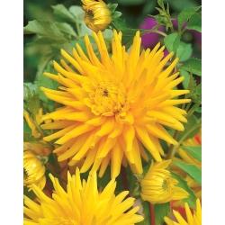Dahlia Cactus Yellow - bebawang / umbi / akar