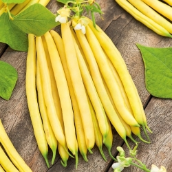 """Yellow dwarf French bean """"Luiza"""" - productive and resistant"""