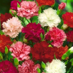 """Carnation """"Chabaud"""" - variety mix; clove pink - 149 seeds"""
