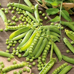 """Field pea """"Nefryt"""" - very easy in cultivation"""