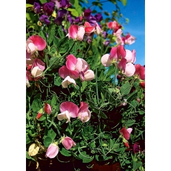 Lõhnav lillhernes - Pansy Lavender Flash - Lathyrus odoratus - seemned
