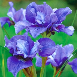 عنبیه سیبری دو گلدان - Crunch کنکورد؛ پرچم سیبرین - Iris sibirica