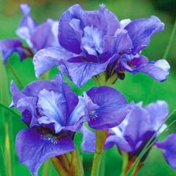 Đôi hoa hồng siberian iris - Concord Crush; cờ siberia - Iris sibirica