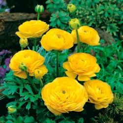Лютик - желтый - пакет из 10 штук - Ranunculus