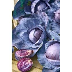 Red Cabbage Haco seeds - Brassica oleracea convar.capitata var.rubra - 560 seeds