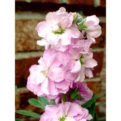 """Hoary stock """"Varsovia Mela"""" - white-pink; gilly flower"""