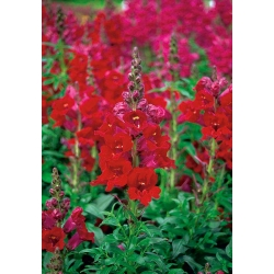 Tall snapdragon - red