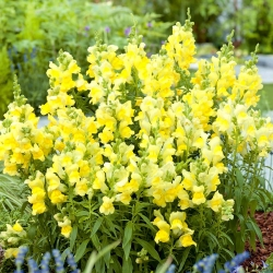 Harilik lõvilõug - Kanarienvogel - kollane  - Antirrhinum majus maximum - seemned