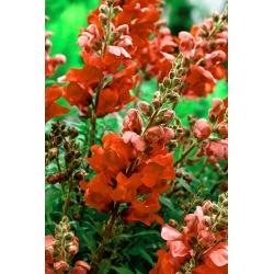 "Snapdragon ""Sultan"" - tall, cinnabar-red variety"