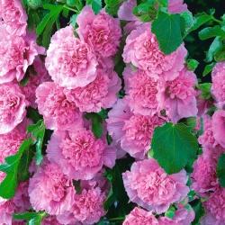 Mályvarózsa  - Pink - rózsaszín - Althaea rosea
