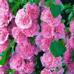 Alcea, Hollyhocks Hồng - củ / củ / rễ - Althaea rosea