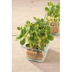 Microgreens - Borage - young, tasty leaves; starflower
