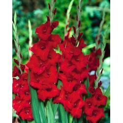 Gladiolas sarkans - XXL - 5 gab. Iepakojums - Gladiolus