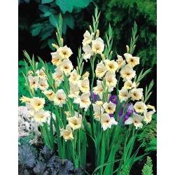 Gladiolas Halley - 5 gab. Iepakojums - Gladiolus