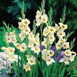 Gladiolus Halley - paquete de 5 piezas