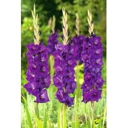 גלדיולוס סגול - 5 בצל - Gladiolus