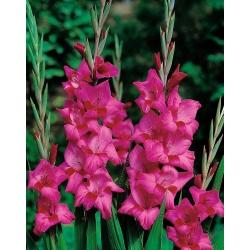 Gladiolus Pink XXL - 5 củ