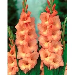 גלדיולוס ספיק אנד ספאן - 5 בצל - Gladiolus Spic and Span