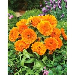 Botón de oro - Orange Gem - naranja - 108 semillas - Calendula officinalis