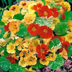 """Nasturtium """"Alaska"""" - low-growing varieties with speckled leaves - 24 seeds"""