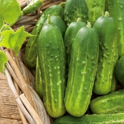 "Pickling cucumber ""Remiz F1"""