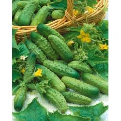 "Cucumber ""Vert Petit de Paris"" - field, pickling variety"
