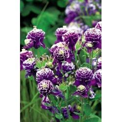 Aquilegia ، كولومبين ، Granny's Bonnet Double Dark Blue & White - bulb / tuber / root - Aquilegia vulgaris