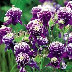 Aguileña común - Double Dark Blue & White - Aquilegia vulgaris