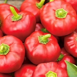 "Pepper ""Alexander"" - dark red, tomato-type variety for field and tunnel cultivation - 65 seeds"