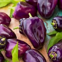 """Pepper """"Nokturn"""" - dark purple, triangular fruit"""